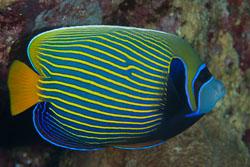 BD-150226-Sharm-7024-Pomacanthus-imperator-(Bloch.-1787)-[Emperor-angelfish.-Äkta-kejsarfisk].jpg